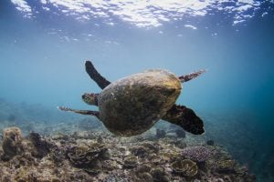 a beautiful creature turtle by surf banyak